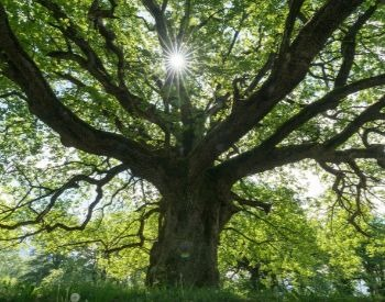A picture of a large oak tree in the summer