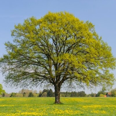 A Picture of an Oak Tree