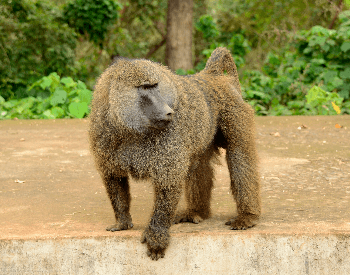 A picture of a olive baboon (Papio anubis)