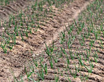 A picture of onion seedlings in the ground
