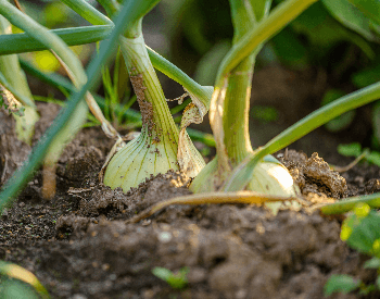 A picture of onions growing in the ground