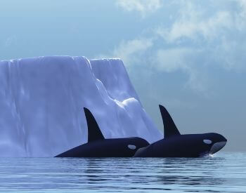 A picture of two orca whales swimming in the Arctic Ocean