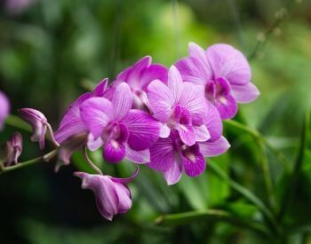 A picture of purple orchids
