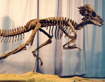 A picture of a Pachycephalosaurus Wyomingensis Specimen.
