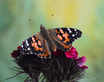 A picture of a Painted Lady Butterfly (Vanessa cardui)