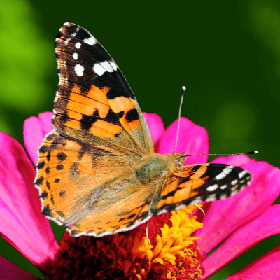 A Picture of a Painted Lady Butterfly