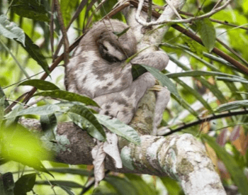 A picture of a pale-throated three-toed sloth (Bradypus tridactylus)