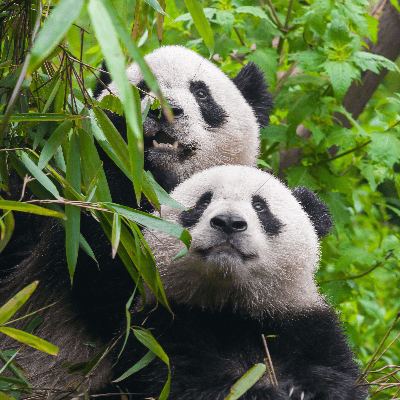 A Picture of Pandas