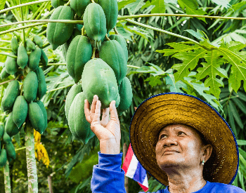 A picture of a papaya being harvested