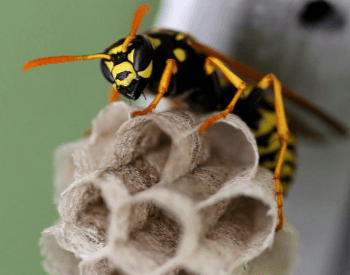 A photo of a paper wasp and its nest