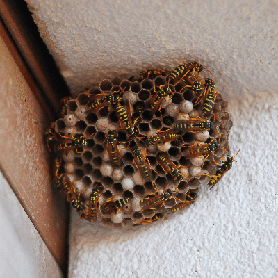 A Picture of a Paper Wasp Nest