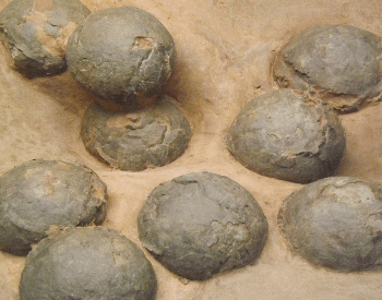 A close-up picture of multiple petrified dinosaur eggs