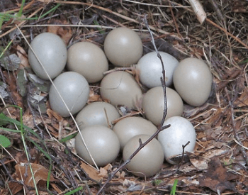 A picture of pheasant eggs