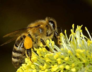 A picture of the philippine honey bee (Apis nigrocincta)