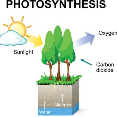 A Diagram of the Photosynthesis Process