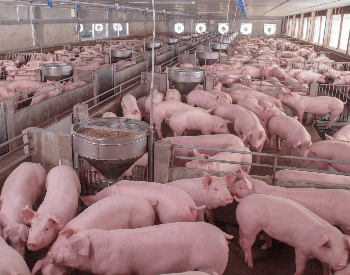 A picture of a pig farm with lots of pigs