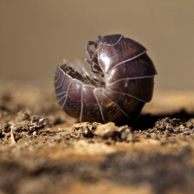 A Picture of a Pill Bug