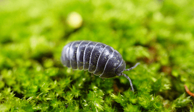 Pill Bug Facts for Kids
