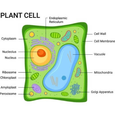 A Diagram of a Plant Cell
