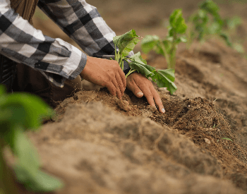A picture of a farmer planting sweet potatoes