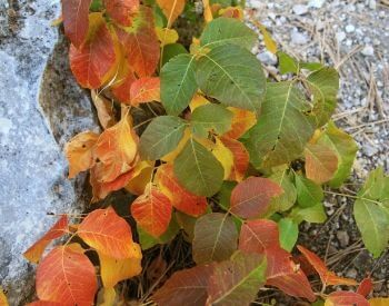 A picture of poison ivy in the fall