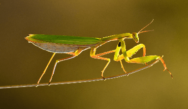 Praying Mantis Facts for Kids