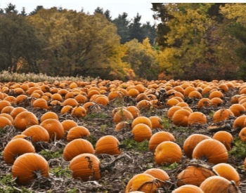 A picture of a lot of pumpkins in a pumpkin patch