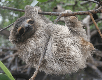 A picture of a pygmy three-toed sloth (Bradypus pygmaeus)