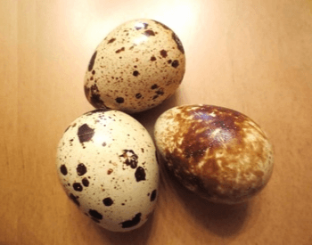 A picture of quail eggs