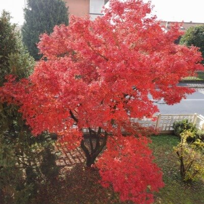 A Picture of a Red Maple Tree