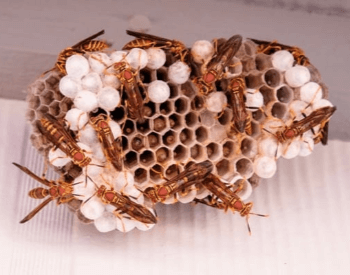 A photo of a red paper wasp nest