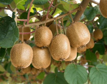 A picture of ripe kiwi on a tree