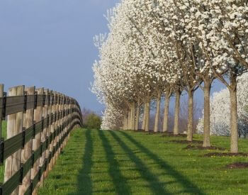 A picture of a row of blooming dogwood trees