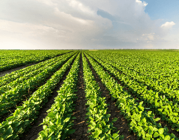 A picture of rows of soybeans on a farm