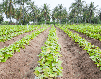A picture of rows of sweet potato plants