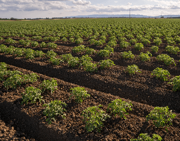 A picture of tomatoes on a farm