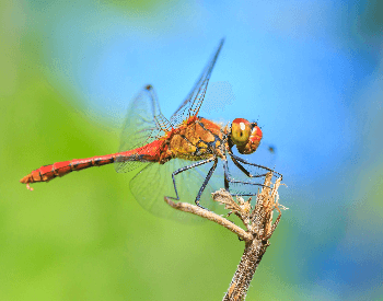 A photo of a ruddy darter (Sympetrum sanguineum) dragonfly