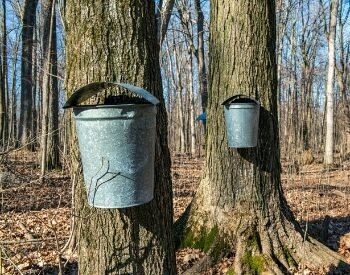 A picture of a sugar maple tree and some sap buckets