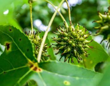 A picture of a seed pod of the sweetgum tree