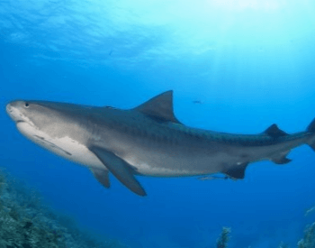 A side view picture of a tiger shark.