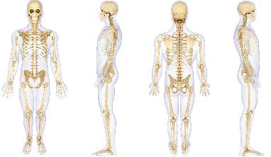 Skeletal System Facts for Kids