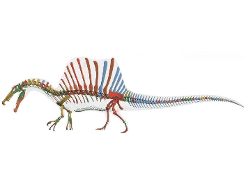 skeleton model of the spinosaurus