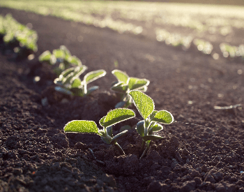 A picture of soybean seedlings in the ground