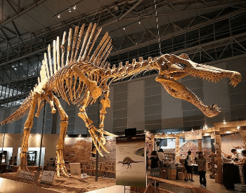 A Spinosaurus in a museum exhibit