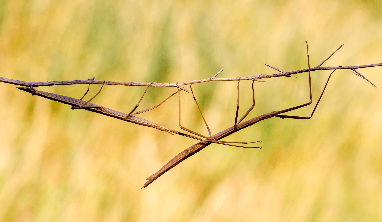 Stick Bug Facts for Kids