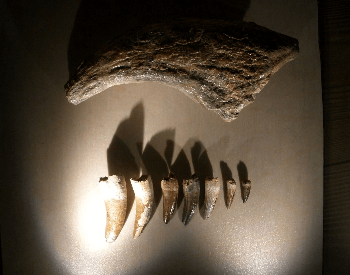 A picture of Suchomimus teeth and a claw