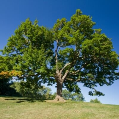 A Picture of a Sugar Maple Tree