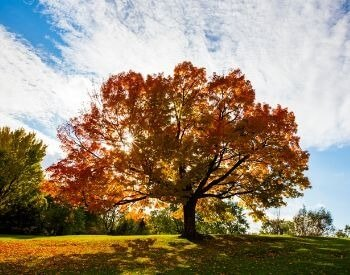 A picture of a sugar maple tree in the autumn