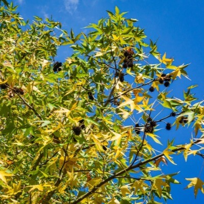 A Picture of a Sweetgum Tree