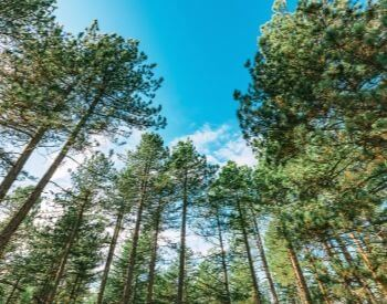 A picture of tall pine trees in a forest